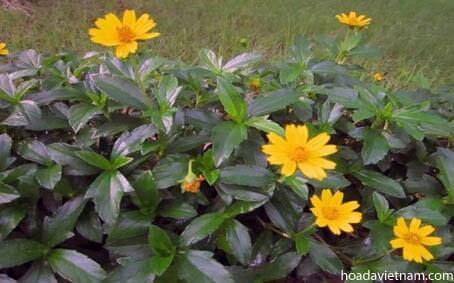Các dược liệu thay thế dùng mật ong điều trị viêm họng 3