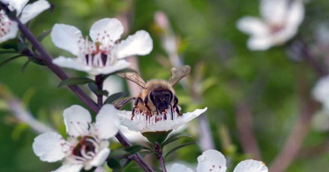 Dùng mật ong chữa viêm họng thay thế kháng sinh được không?